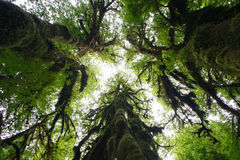 Het Regenwoud van Hoh, de Staat van Washington Stock Afbeeldingen