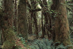Het regenwoud van Quinalt royalty-vrije stock foto