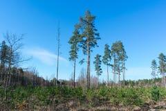 Het registreren met jonge pijnboomjonge boompjes stock foto