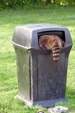 Het reinigen van de wasbeer voor huisvuil Stock Afbeeldingen