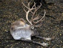 Het rendier met grote hoornen sluit omhoog Fins bosrendier die in natuurlijke achtergrond op witte achtergrond liggen De Finse bo royalty-vrije stock fotografie