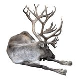 Het rendier met grote hoornen sluit omhoog Het finse bosrendier ligt geïsoleerd op witte achtergrond Het Finse boshert is zeldzaa stock foto's