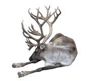 Het rendier met grote hoornen sluit omhoog Het finse bosrendier ligt geïsoleerd op witte achtergrond Het Finse boshert is zeldzaa royalty-vrije stock foto's