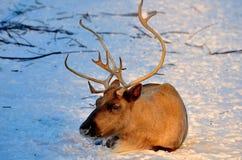 Het rendier in Noord-Amerika - kariboe Het rendier in het verre verleden heeft de mens toegelaten om het Noorden te beheersen royalty-vrije stock foto's