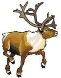 Het rendier van de kariboe Stock Afbeelding