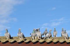 Het rennen duiven op het dak Stock Foto