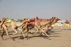 Het rennen kamelen Stock Afbeelding
