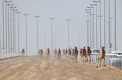 Het rennen kamelen in Doha Stock Fotografie