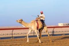Het rennen kamelen, Doubai, Verenigde Arabische Emiraten royalty-vrije stock afbeelding