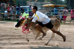 Het rennen nam de stier met zijn naakte handsart in Thailand Royalty-vrije Stock Foto's