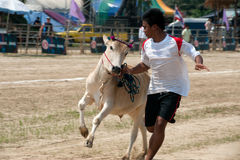 Het rennen nam de stier met zijn naakte handsart in Thailand Royalty-vrije Stock Afbeelding