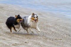 Het rennen Shelties Stock Foto