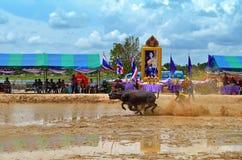 Het rennen van buffels festival Stock Foto's