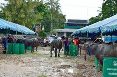 Het rennen van buffels festival Stock Fotografie