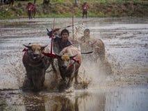 Het rennen van buffels festival Royalty-vrije Stock Afbeelding