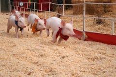 Het rennen varkens Royalty-vrije Stock Afbeeldingen