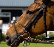 Het Renpaard van de kastanje Stock Foto