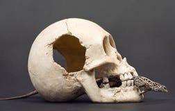 Het reptiel kroop door de schedel. Royalty-vrije Stock Afbeeldingen