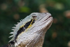 Het Reptiel van de Hagedis van Frillneck Stock Fotografie