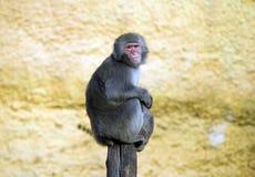 Is het resusaap macaque dierlijke zoogdier het pak de leider van de familie een heilig dierlijk vivarium allesetend allesetend ve royalty-vrije stock foto
