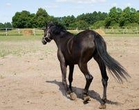 Het reusachtige paard reduceert de paddock Stock Afbeeldingen