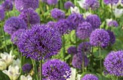 Het reuze bloeien van Giganteum van het Uiallium Gebied van Allium/sierui Weinig ballen van tot bloei komende Alliumbloemen stock fotografie