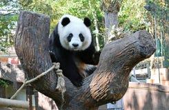 Het reuze panda linping Stock Foto