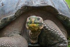 Het reuzeschildpad voeden in de Galapagos Royalty-vrije Stock Foto's
