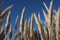 Het riet blauwe hemel van het gras stock foto