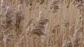 Het riet Bulsrush van het moerasland in wind stock videobeelden