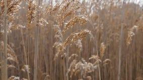 Het riet Bulsrush van het moerasland in wind stock video