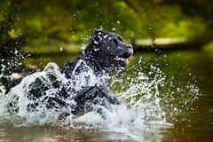 Het Riet Corso van de hond die in het water in werking wordt gesteld Royalty-vrije Stock Afbeelding