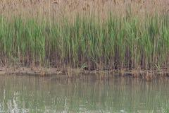 Het riet groeit op de kust van het meer royalty-vrije stock foto