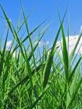 Het riet van het gras Stock Fotografie