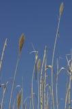 Het riet van het gras Royalty-vrije Stock Afbeeldingen