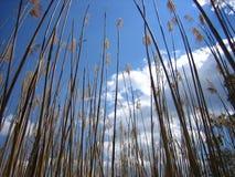 Het Riet van het moerasland Stock Foto's