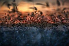 Het riet zwaait slingering in de wind bij zonsondergang stock fotografie