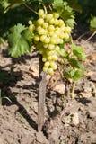 Het rijpe druiven groeien Royalty-vrije Stock Foto's