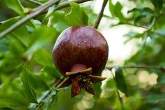 Het rijpe granaatappelfruit op boomtak, Rijpe granaatappelvruchten die op een boom hangen vertakt zich groene achtergrond royalty-vrije stock foto's