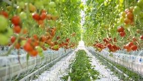 Het rijpe natuurlijke tomaten groeien Stock Afbeeldingen