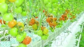 Het rijpe natuurlijke tomaten groeien stock video