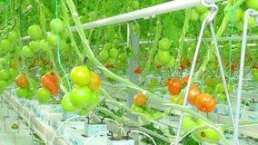 Het rijpe natuurlijke tomaten groeien stock footage