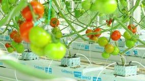Het rijpe natuurlijke tomaten groeien stock videobeelden