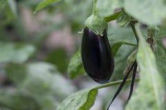 Het rijpe purpere aubergine groeien in een serre in de vallei van Jordanië Royalty-vrije Stock Foto