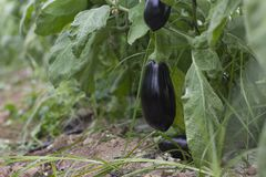 Het rijpe purpere aubergine groeien in een serre in de vallei van Jordanië Stock Foto