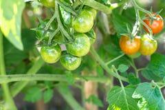Het rijpen op de struik kleine groene vruchten van kersentomaten Stock Foto's