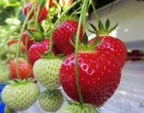 Het rijpen van aardbeien van hydroponically gecultiveerde installaties bij een geschikte het plukken hoogte specialiseerde zich h Royalty-vrije Stock Foto