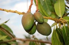 Het rijpen van de mango Stock Foto's