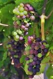 Het rijpen van druiven Royalty-vrije Stock Afbeeldingen