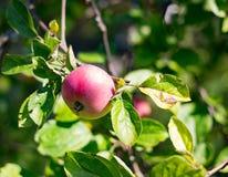 Het rode appel hangen op een boom Royalty-vrije Stock Fotografie